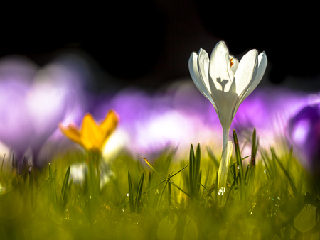 sun lit: Wild crocus (Crocus tommasinianus) Blooming in a back lit field in the first sun rays in spring Stock Photo
