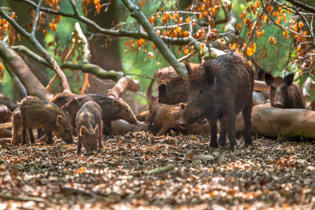 scrofa: Family of Wild Boar (Sus scrofa) taking care of their skin on a fallen tree in a clearing in the forest