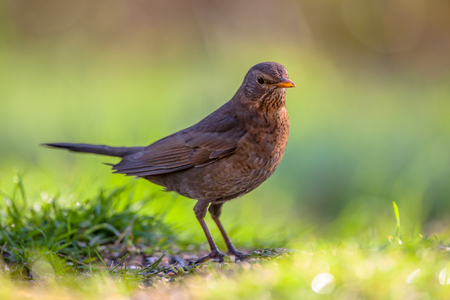 blackbird: Female common blackbird (Turdus merula) looking for food on the ground in an ecological garden with green background Stock Photo