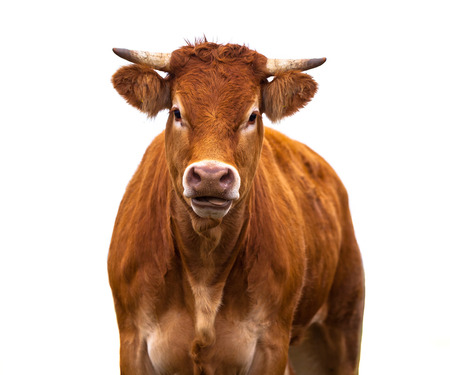 Happy brown Cow Portrait. A Farm Animal Grown for Organic Meat on a White Background