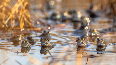 Group of male common frogs (Rana temporaria) on display during mating season in early spring Stock Photo