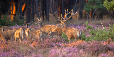 animal mating: Male red deer (Cervus elaphus) guarding his flock of deer during mating season on the Hoge Veluwe, Netherlands