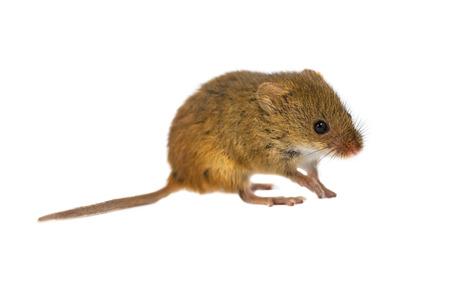 raton: Rat�n de cosecha, Micromys minutus, caminando sobre fondo blanco, tiro del estudio