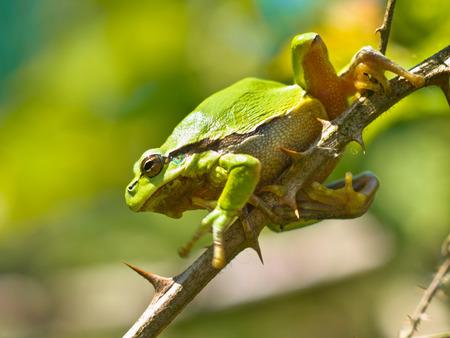 hyla: European Tree Frog (Hyla arborea) climbing on a Blackberry Branch in its Natural Habitat