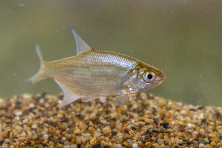 Small Silver Bream (Blicca bjoerkna) are very similar in overall appearance to the immature Common, or Bronze Bream (Abramis brama) photo