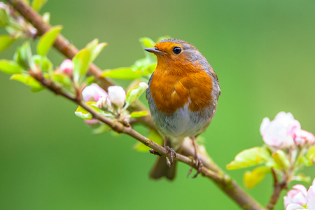 A red robin (Erithacus rubecula) in between white fruit blossom as a concept for spring