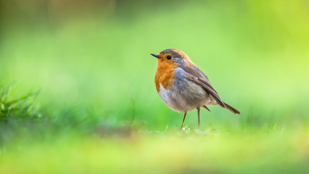 rubecula: A red robin (Erithacus rubecula) foraging on the ground on bright green background. This bird is a regular companion during gardening pursuits Stock Photo