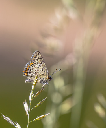 lycaena: Sooty Copper Butterfly (Lycaena tityrus) Resting on Grass Ear on a Summer day Stock Photo