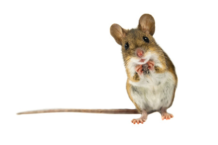 Geeky Wood mouse (Apodemus sylvaticus) with curious cute brown eyes looking in the camera on white background