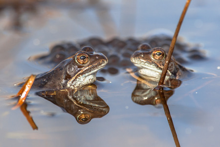 Two male common frogs (Rana temporaria) on display during mating season in early spring with frogspawn in the background