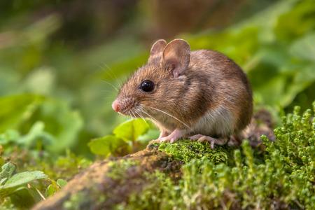 myszy: Dzikie Drewno myszy odpoczynku na patyku na dnie lasu z bujną zieloną roślinnością