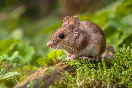 Wild Wood muis rusten op een stok op de bosbodem met weelderige groene vegetatie