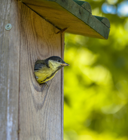 bird house: Young Great Tit (Parus Major) Peeking Trough the Entrance of a Wooden Nesting Box