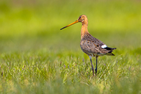 just arrived: Black-tailed Godwit (Limosa limosa) walking in a green meadow. This migratory bird just arrived from Africa and will breed in the extensive grass fields of Northern Europe