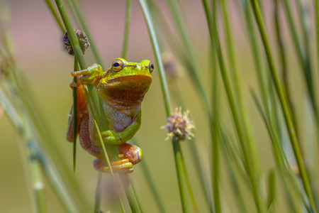 European tree frog (Hyla arborea) climbing in common rush (juncus effusus) 版權商用圖片
