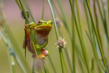 hyla: European tree frog (Hyla arborea) climbing in common rush (juncus effusus) Stock Photo