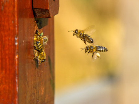 Bees are flying to the entrance of a beehive colony Stock Photo