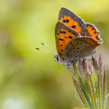 lycaena: Small Copper Butterfly (Lycaena phlaeas) Perched on a Plant in the sun