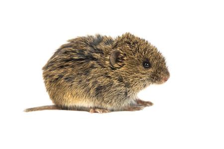 vole: Common Vole muis (Microtus arvalis) op een witte achtergrond