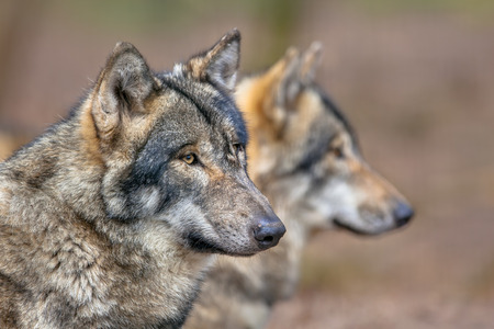 Two resting Eurasian Gray Wolfs (Canis lupus lupus).