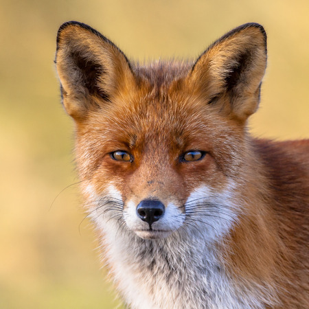A full resolution portrait of the head of a red fox male (Vulpes vulpes)  in natural environment with yellow background.