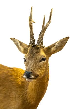 Portret van een ree (Capreolus capreolus) op een witte achtergrond Stockfoto