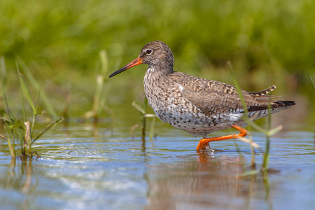 circumstances: Common Redshank wader bird (Tringa totanus) walking along the shoreline Looking for food in shallow water. The Common Redshank is known as fairly critical to ecological circumstances.
