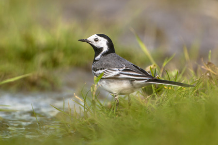 wagtail: Male white wagtail (Motacilla alba) drinking water in a wetland nature reserve in the Netherlands Stock Photo