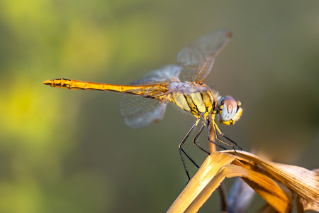sympetrum: The Red-veined Darter or Nomad (Sympetrum fonscolombii) is a dragonfly of the genus Sympetrum