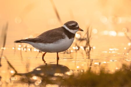 plover: common ringed plover or ringed plover (Charadrius hiaticula) in shallow water in the first orange light during sunrise