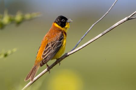 black headed: Singing Black headed Bunting (Emberiza melanocephala) perched on a branch