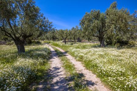 Oude biologische olijfgaard met witte bloemen en rotsachtige baan op een mooie dag met blauwe lucht in de lente Stockfoto