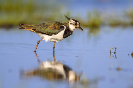 feeding through: Female Northern lapwing bird (Vanellus vanellus) wading through shallow water while feeding on insects Stock Photo