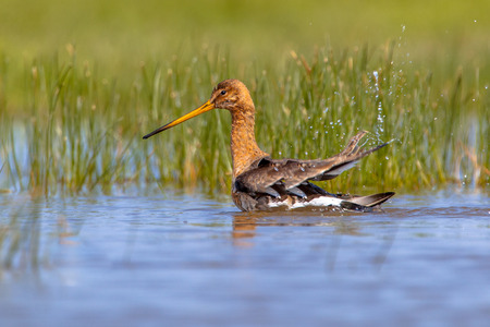 wader: Black-tailed Godwit (Limosa limosa) washing itself in water, the Godwit is one of the wader bird target species  in dutch nature protection projects Stock Photo