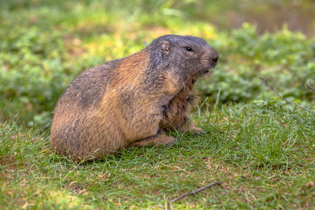 southern europe: Alpine marmot (Marmota marmota) in a mountain nature reserve. This animal is  found in mountainous areas of central and southern Europe