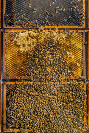 joint effort: Display showing the inside of a bee colony with the swarm filling the honeycombs with honey Stock Photo