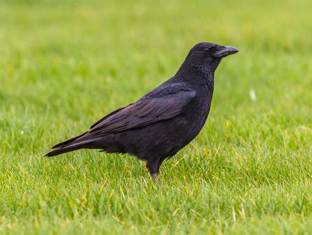 dodgy: Silhouette Black Crow (Corvus corone) on green field looking forward