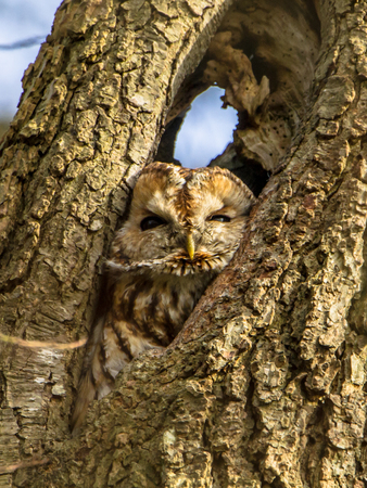 tawny owl: Brown or Tawny owl (Strix aluco) looking down from a  tree cavity