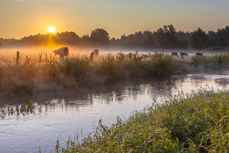 オランダの牛と田舎の上に霞を初夏の朝にブルゴスの Dinkel 川