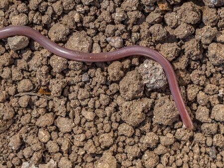 worm snake: European blind snake or European worm snake (Typhlops vermicularis) feeds on ants and lives under the ground Stock Photo