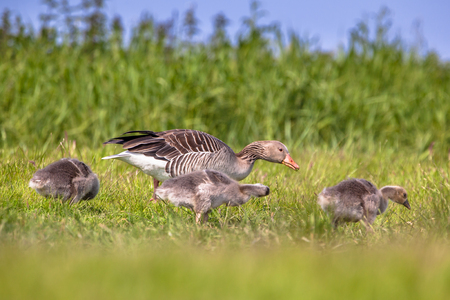 greylag: Mother with chicks of greylag goose (Anser anser), the species has grown to problematic numbers in recent years in the Netherlands. Pest control options are being discussed.