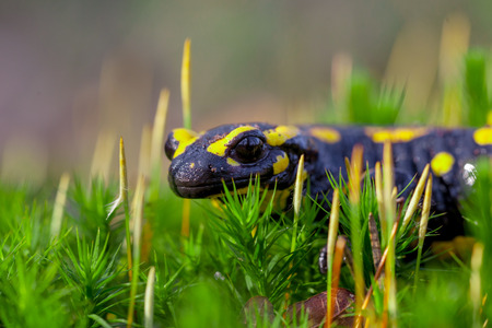 Fire salamanders (Salamandre salamandre) live in central European deciduous forests and are more common in damp areas.