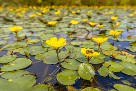 water lilly: Dense floating water vegetation of Fringed Water-lily (Nymphoides peltata) with a bee eating from nectar