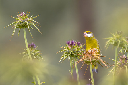 Greenfinch (Chloris carduelis) eating seeds milk thistle (Silybum marianum) with beautiful bokeh photo