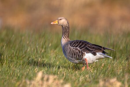 greylag: Numbers of greylag goose have grown to problematic numbers in recent years in the Netherlands. Pest control options are being discussed. Stock Photo