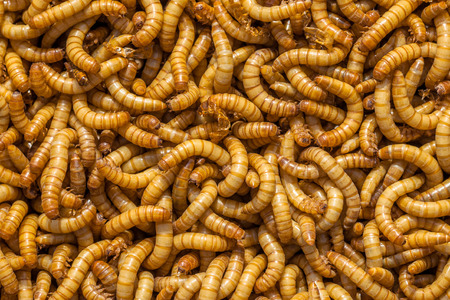 the larvae: Background of many living Mealworm larvae suitable as Food Stock Photo
