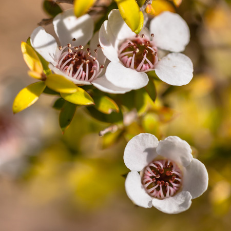 Detail of Manuka tea tree flower and seed boxes 免版税图像