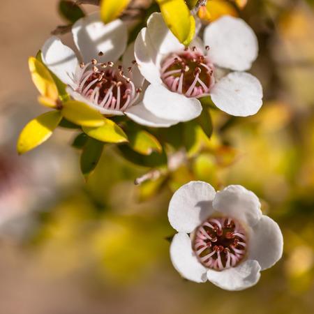 Detail van Manuka tea tree bloemen en zaaddozen
