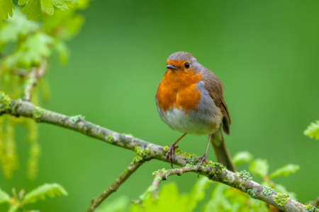 erithacus: A red robin (Erithacus rubecula) perched on a fresh flowering oak branch as a concept for spring. Stock Photo