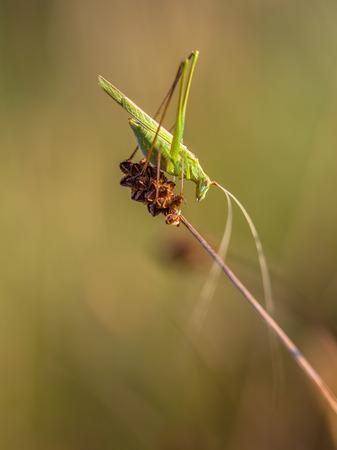 falcata: Phaneroptera falcata is a species of katydids crickets belonging to the family Tettigoniidae subfamily Phaneropterinae.